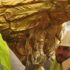 gilding-inspection-of-the-state-capitol-eagle-gilded-in-gold